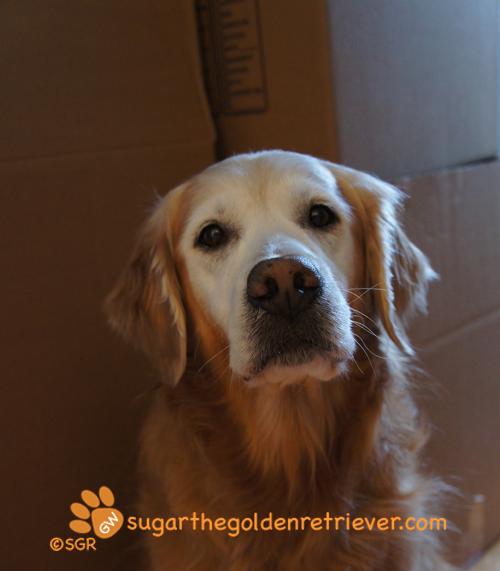 Sugar's Sad FACE ... Moving Boxes