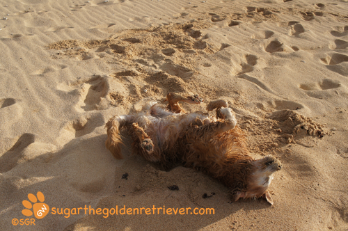 Sugar's Moment on the Baby Beach Sand