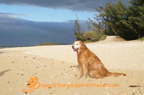 Sugar Resting After Her 1st SWIM Baby Beach