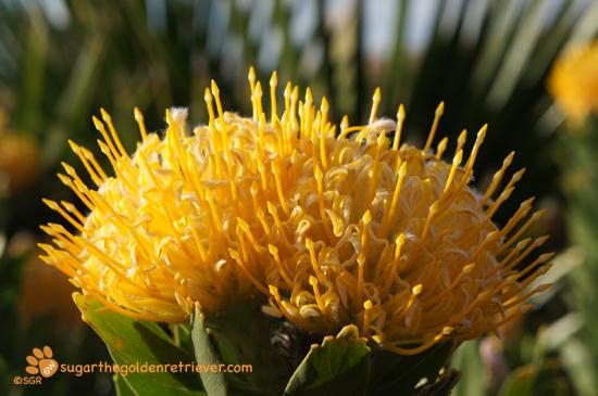 Double Yellow Protea