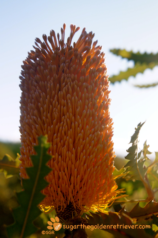 Orange Frost Protea