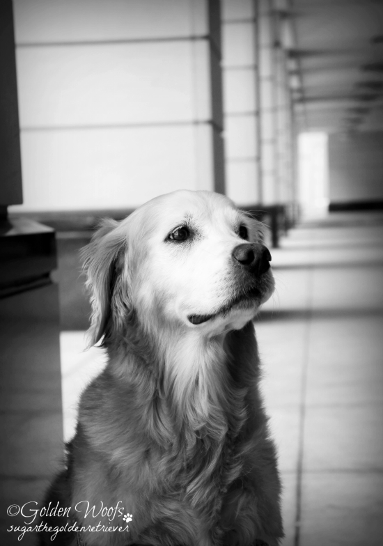 Standing Strong as a Pillar: Sugar The Golden Retriever