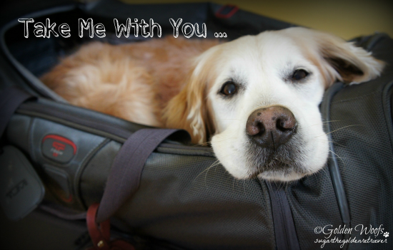 Take Me With You: Sugar The Golden Retriever