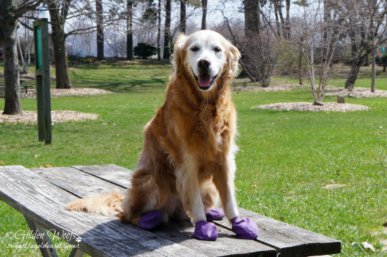 Sit Stay Picnic Table: Sugar The Golden Retriever