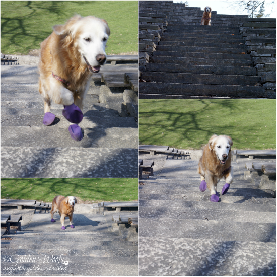 Stair Climbing: Sugar The Golden Retriever