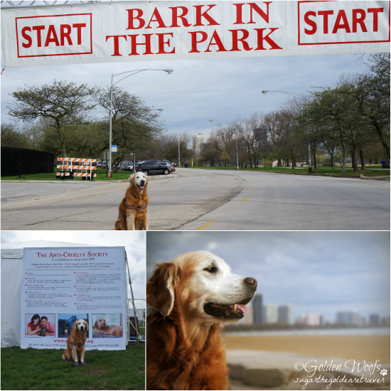 5/4/13 Bark in the Park: Sugar The Golden Retriever