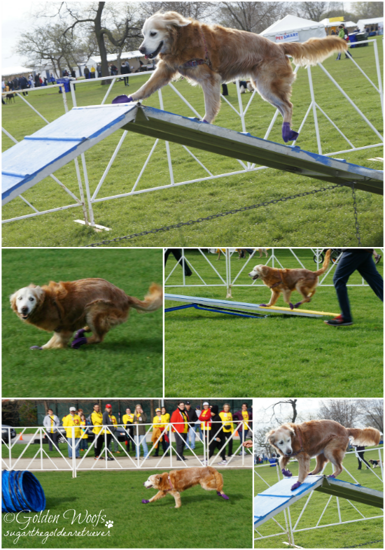 Agility Course: Sugar The Golden Retriever