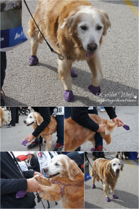 Stretching for 5KWalk: Sugar The Golden Retriever