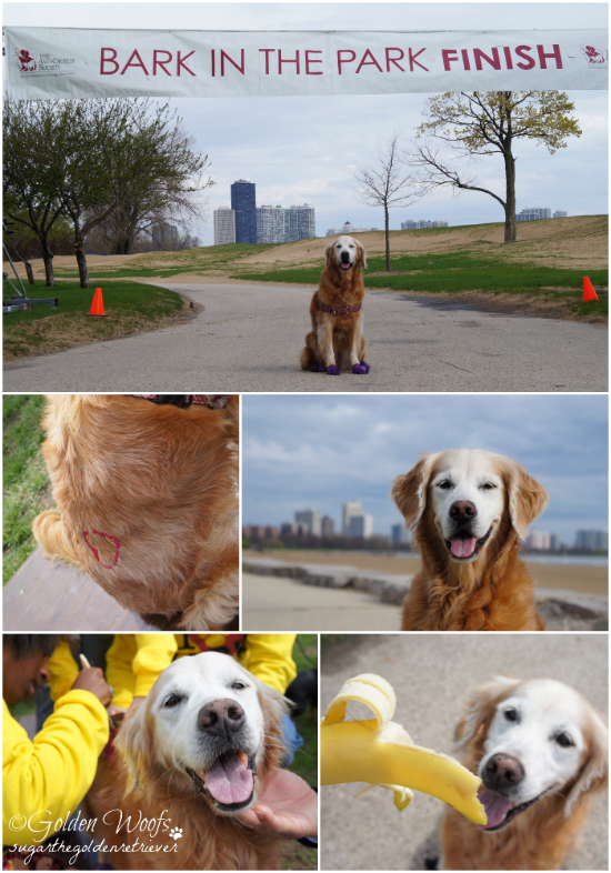 FUN at Fundraising: Sugar The Golden Retriever