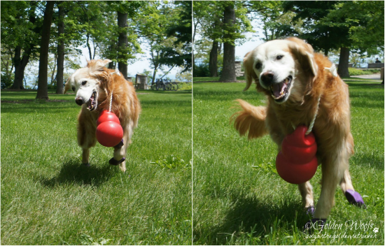Fun Run With KONG Bounzer: Sugar The Golden Retriever.com