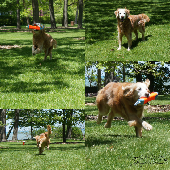 Fetch Play: Sugar The Golden Retriever