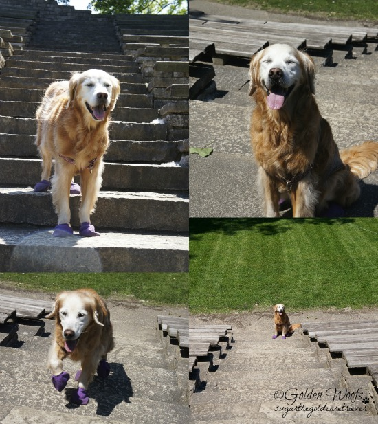 Sugar Stair Climb: Sugar The Golden Retriever