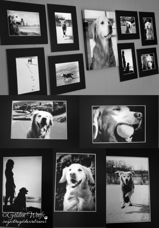 Black n White Dog Wall Art: Sugar The Golden Retriever