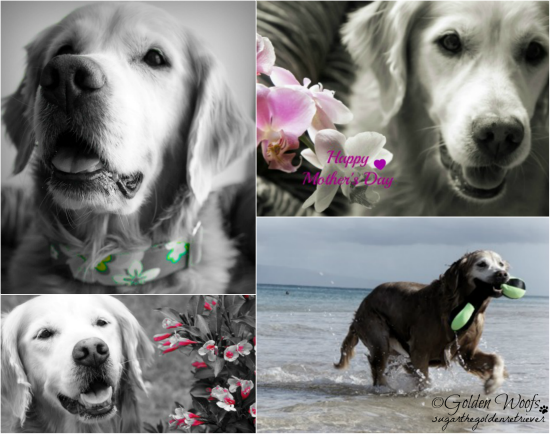 Black n White Photos with Splash Of Colors: Sugar The Golden Retriever