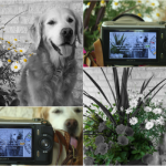 Camera Color Isolation Photo Shoot: Sugar The Golden Retriever