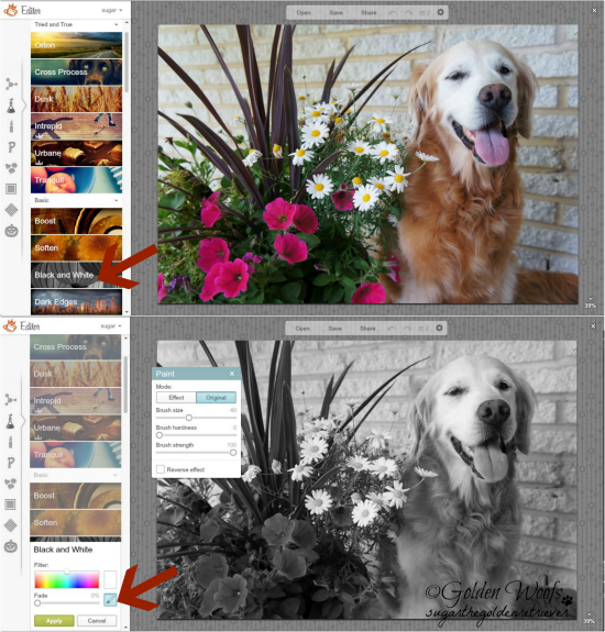 Add Splash of Colors with PicMonkey 2: Sugar The Golden Retriever