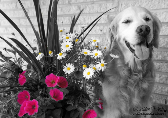 Red Yellow Black n White Photo: Sugar The Golden Retriever