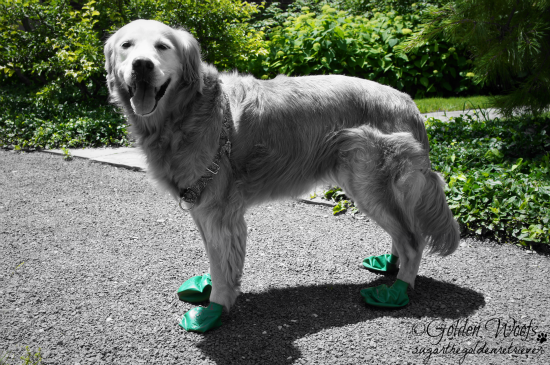 Summer Green: Sugar The Golden Retriever