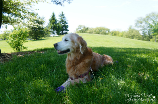 Summer Time: Sugar The Golden Retriever