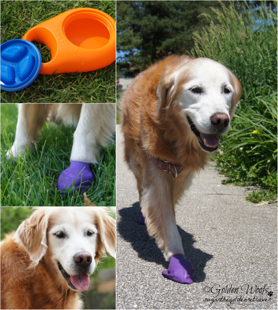Summer Safety: Sugar The Golden Retriever