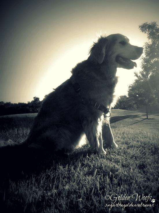 Black n White Sunset On The Hill: Sugar The Golden Retriever