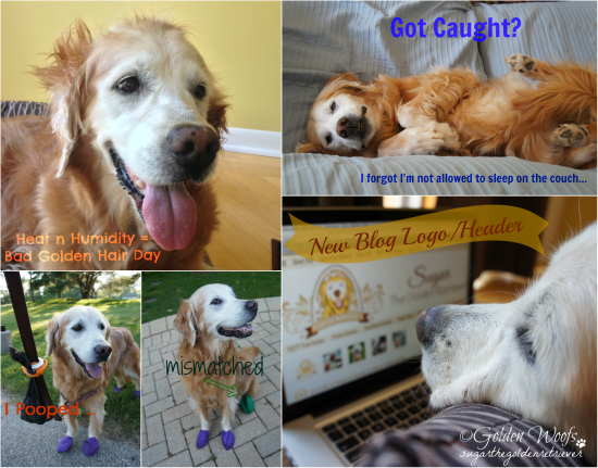 Sugar's Week of Mischief: Sugar The Golden Retriever