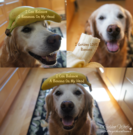 Golden Dog Balancing Banana: Sugar The Golden Retriever