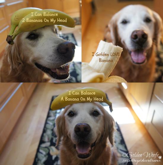 Golden Dog Balancing Banana: Sugar The Golden Retriever