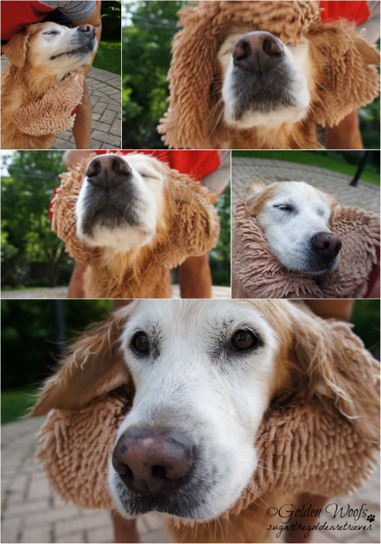 Soggy Doggy Super Shammy: Sugar The Golden Retriever