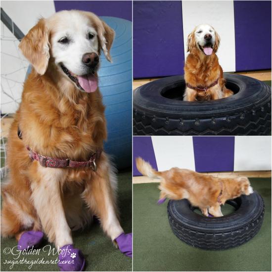 Sugar In The Tire: Sugar The Golden Retriever