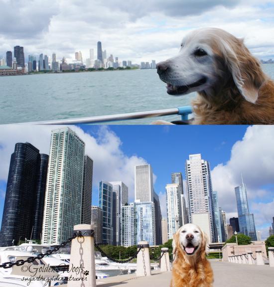 Chicago Skyline: Sugar The Golden Retriever