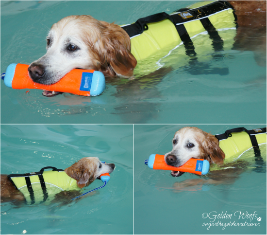 Sugar's June Swim: Sugar The Golden Retriever