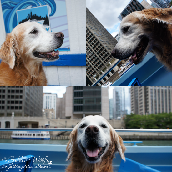 On A Canine Cruise: Sugar The Golden Retriever