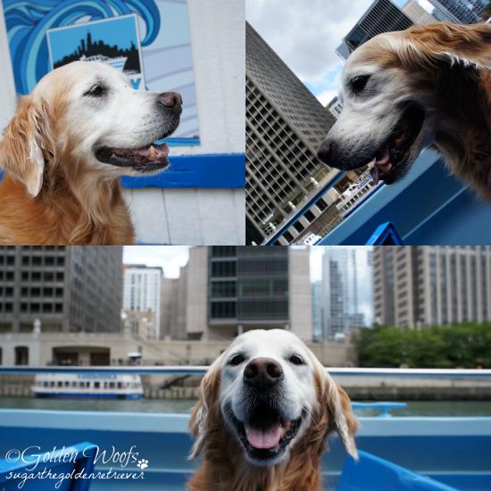 On A Canine Cruise: Sugar The Golden Retriever