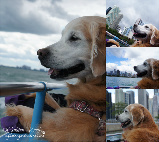On Mercury Canine Cruise, Sugar The Golden Retriever