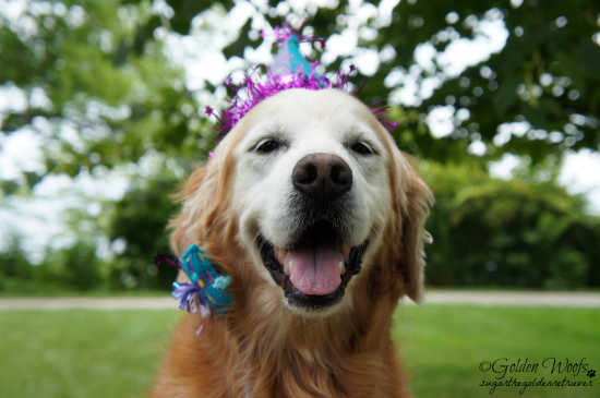 Sugar's 12th BarkDay: Sugar The Golden Retriever