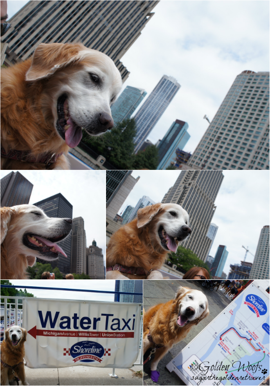 Sugar Rides the Chicago Shoreline Water Taxi