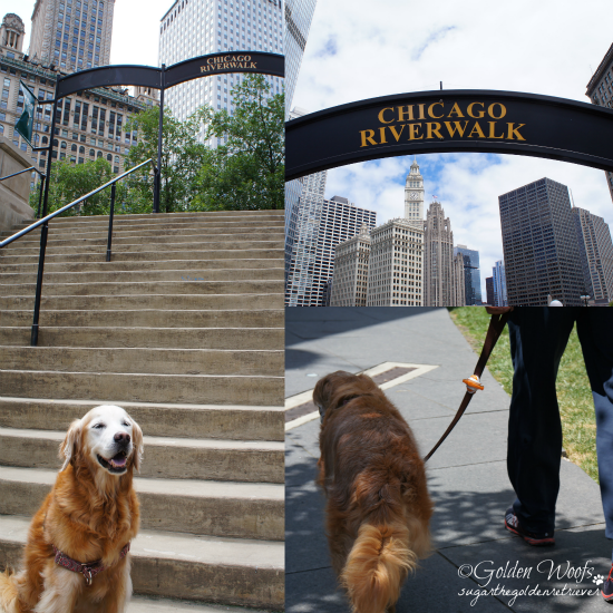 Chicago Riverwalk: Sugar The Golden Retriever