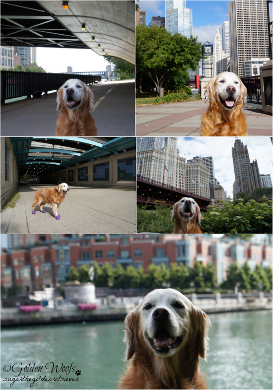 Chicago Riverwalk/Skyline: Sugar The Golden Retriever