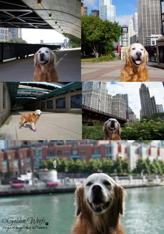 Chicago Riverwalk/Skyline: Sugar The Golden Retriever