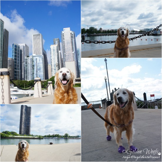 Chicago Riverwalk/Chicago Skyline: Sugar The Golden Retriever