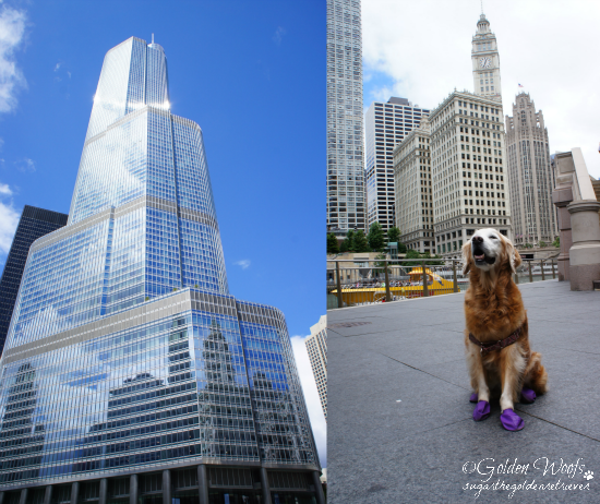Chicago/Trump Tower: Sugar The Golden Retriever