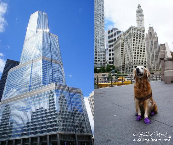 Chicago/Trump Tower: Sugar The Golden Retriever