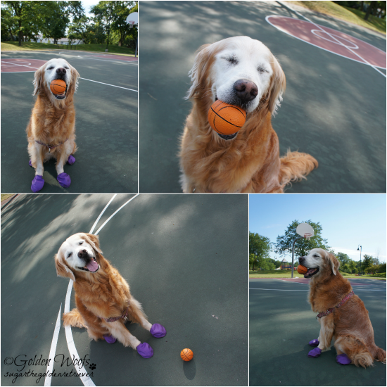 Sugar's mini Basketball: Sugar The Golden Retriever