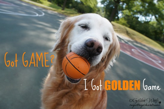 Got Golden Game! Sugar The Golden Retriever
