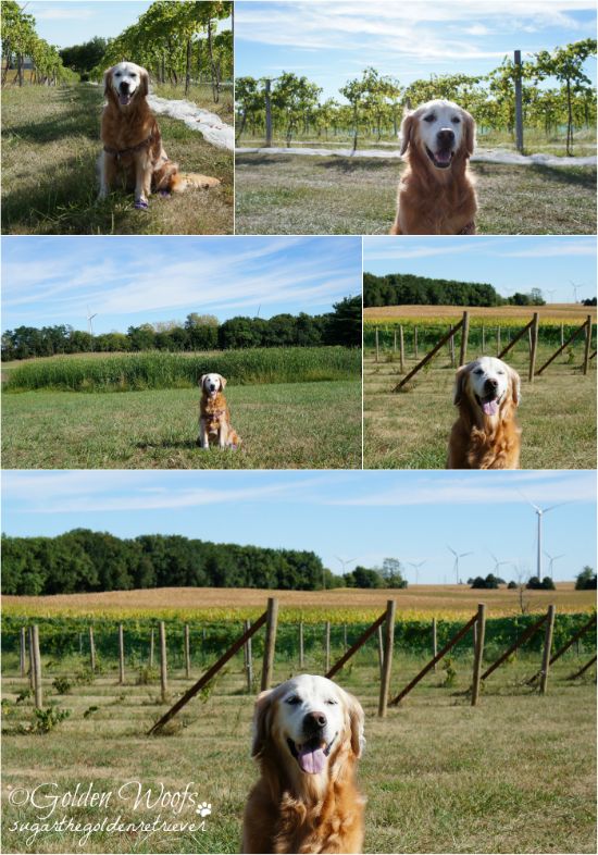 Sugar The Golden Retriever at White Oak Vineyards