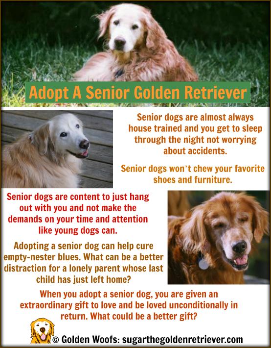 ADOPT A Senior Golden Retriever
