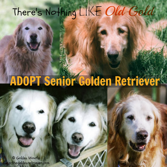 Old Gold: ADOPT Senior Golden Retriever