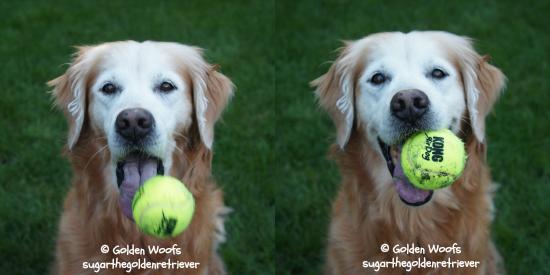 Golden Good Catch: Sugar The Golden Retriever