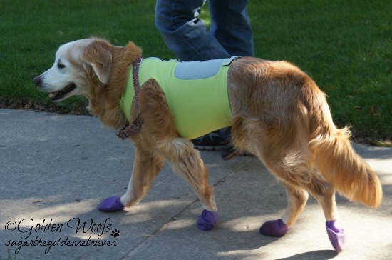 K9FitVest FUNtional Fitness Apparel: Sugar The Golden Retriever